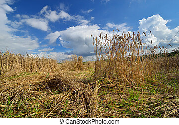 Damaged crops wheat made by boars. - Damaged crops wheat...
