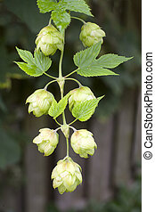common hop - blooming common hop of the cannabaceae family