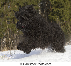 Black Russian Terrier BRT or Stalins dog best guard and...