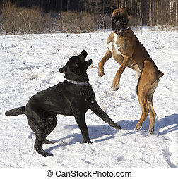labrador and boxer playing in the snow - black labrador and...