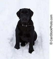 Black Labrador Retriever Puppy - Black Labrador Retriever...