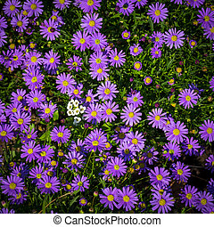 Blooming Alpine asters - Aster Alpinus flower in the garden
