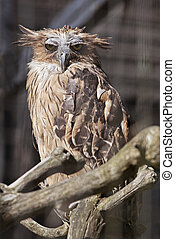Buffy fish owl (Ketupa ketupu) in a zoo