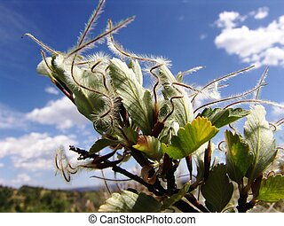 Mountain Mahogany Fruit - Rocky Mountain bush