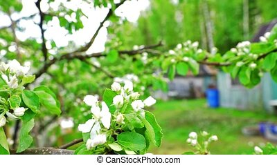 Apple twig with white flowers