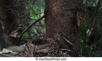 Wood scene with redwing near nest - Redwing (Turdus iliacus)...