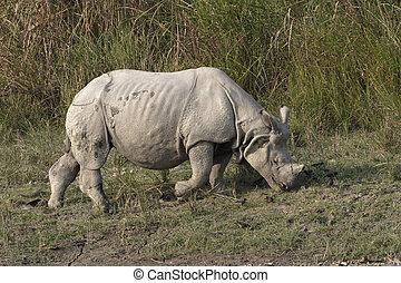 Indian rhino feeding