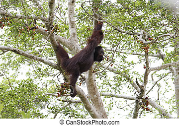 Bornean orangutan looking at fruits