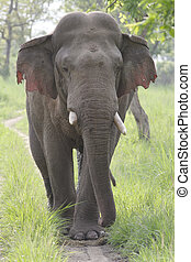 Asian elephant bull in rut