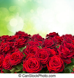 dark red roses in garden - dark red roses close up in green...