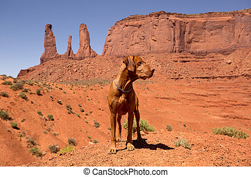 vizsla dog standing in red desert - pure breed vizsla dog...