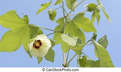 Cotton flower - Yellow cotton flower and green leaves under...