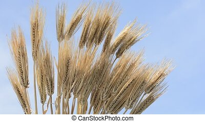 Bundled barley - Bundled ears of barley under blue sky