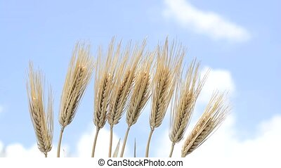 Lined barley - Lined ears of barley under blue sky