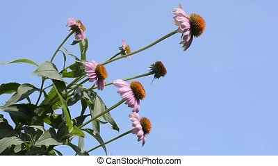 Several echinacea flowers - Sideways several echinacea...