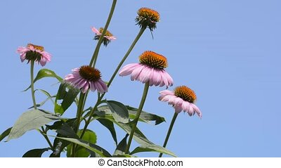Purple echinacea flowers in near center position under blue...