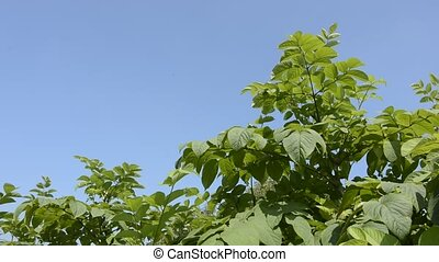 Cordate spikenard plants under blue sky in summer