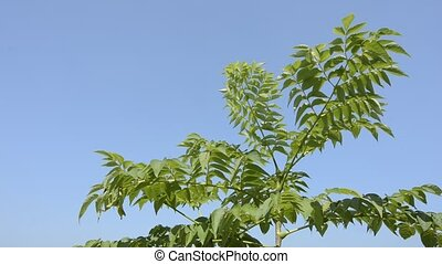 Japanese angelica tree under blue sky in summer