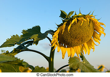 beautiful sunflowers with blue sky. agricultural plantation