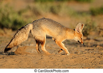 Cape fox Vulpes chama outside its den, Kalahari desert,...