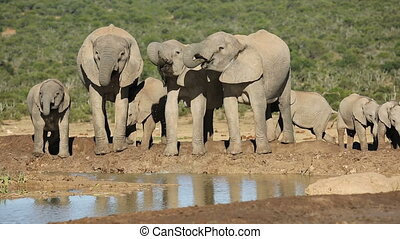 African elephants drinking water - Family group of African...