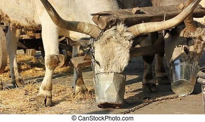 two big oxen eating