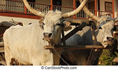 two big oxen