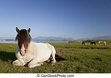 Icelandic Horse At Rest In A Field - An Icelandic horse at...