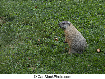 Groundhog - A groundhog stands on his back legs in the green...