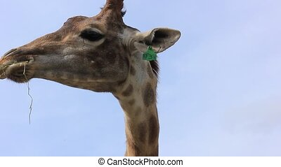 African giraffe eating grass