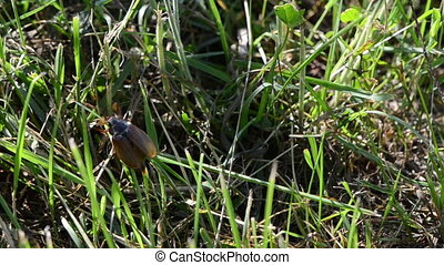 bug crawls grass stalks - small brown cockchafer chafer...