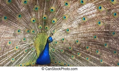 beautiful peacock shaking its tail