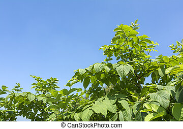 Cordate spikenard plants under blue sky in summer