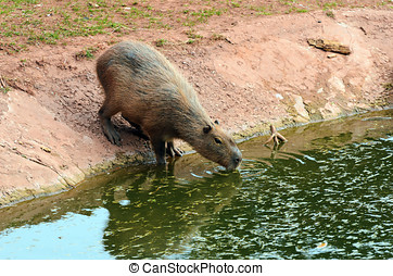 Capybara - Close up of a Capybara (Hydrochoerus...