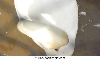 white swan looking around