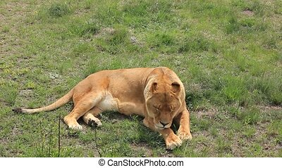 lioness lying on the ground