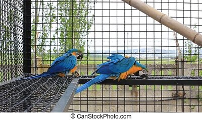 Blue-and-yellow Macaw (Ara ararauna). Colorful parrot in...