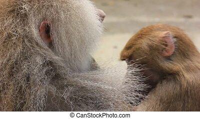 hamadryas baboon (Papio hamadryas). monkeys cleaning each...