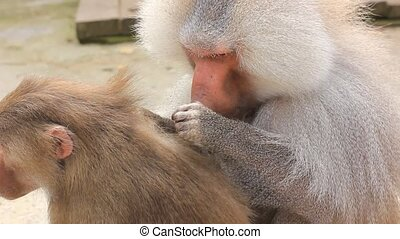hamadryas baboon Papio hamadryas monkeys cleaning each other...