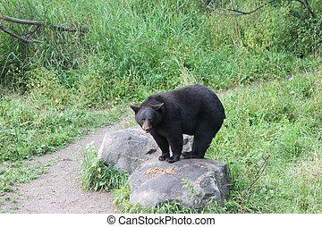 Black Bear on Rock - Black bear at the Vince Shute Bear...