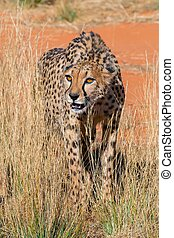 cheetah namibia africa - cheetah expecting prey from park...