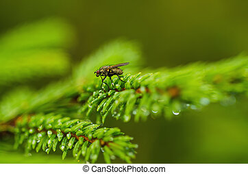 Fir tree with fly - Background from conifer evergreen tree...