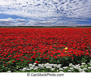 Spring in Israel - Spring in the fields of Israel. Huge...