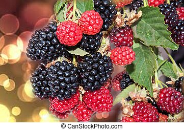 BlackBerry garden is a perennial shrub up to 15 m Blackberry...