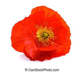 poppy flower - Single red poppy flower isolated on white...