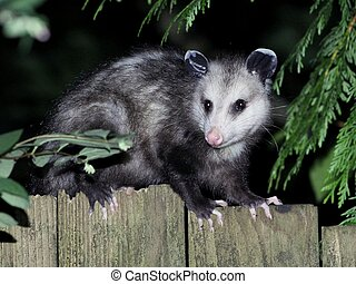 Virginia Opossum at Night - A Virginia Opossum on a fence at...