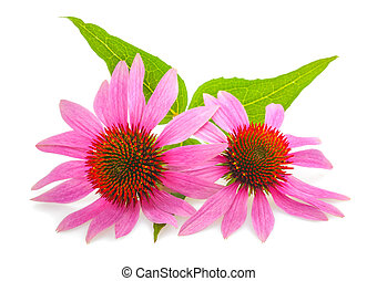 Coneflower with leaves  isolated on white background