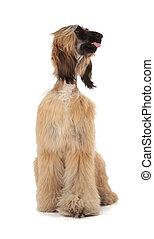 Afghan Hound Sage Balochi, Ogar Afgan, Eastern Greyhound,...