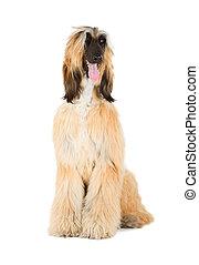 Afghan Hound (Sage Balochi, Ogar Afgan, Eastern Greyhound,...