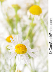 Chamomile flowers, close up view